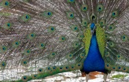 Peacock blue and green feathers fan