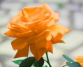Orange rose (flower)